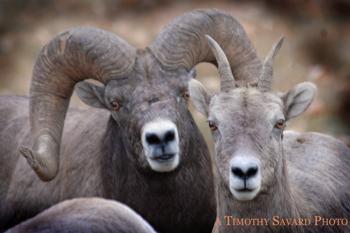 Bighorn-Ram-and-Ewe-Sheep-Wildlife-Rock-Creek