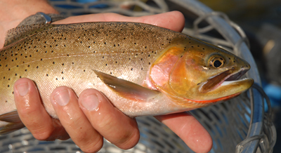 Fly-fishing-for-cutthroats-on-Rock-Creek